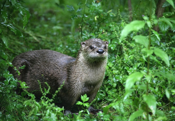 Otters sighted near Marlborough