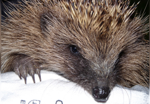 11 Ways to Make Your Garden Safe for Hedgehogs