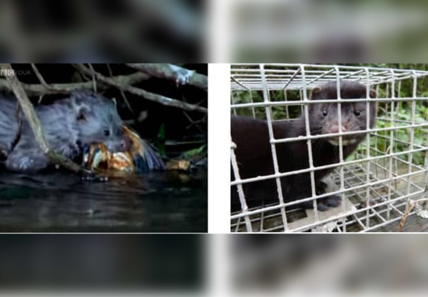 Can you help trap mink?