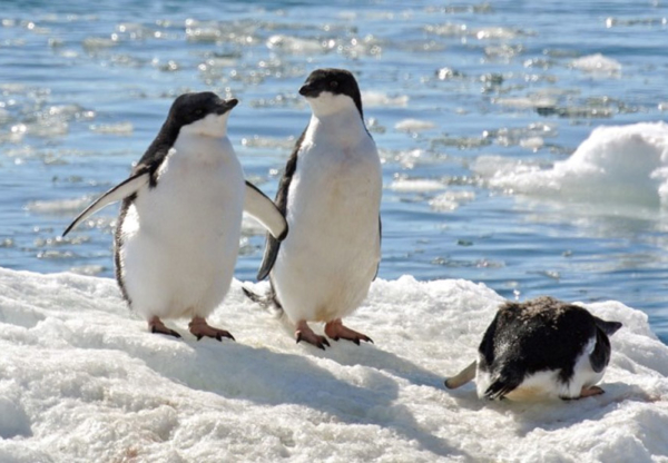 Walk safely on ice…like a penguin!