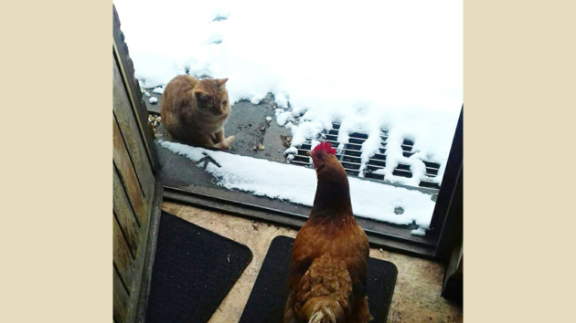 Caption Competition: The Kitten And The Chicken