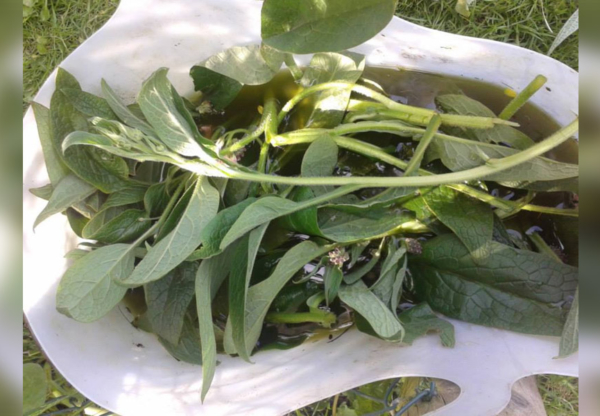 How to make Comfrey Garden Feed