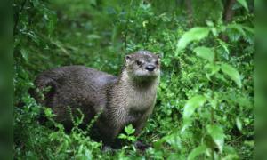 Ark Otter