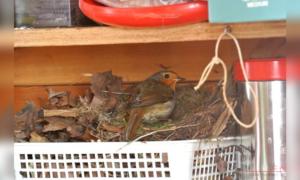 Robin nest crop