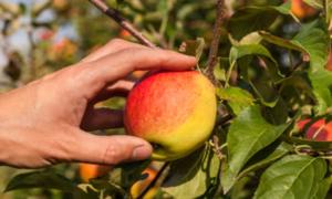 Fruit Harvesting Day @ John O' Gaunt Youth & Community Centre | England | United Kingdom