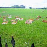 Deer herd at Padstow