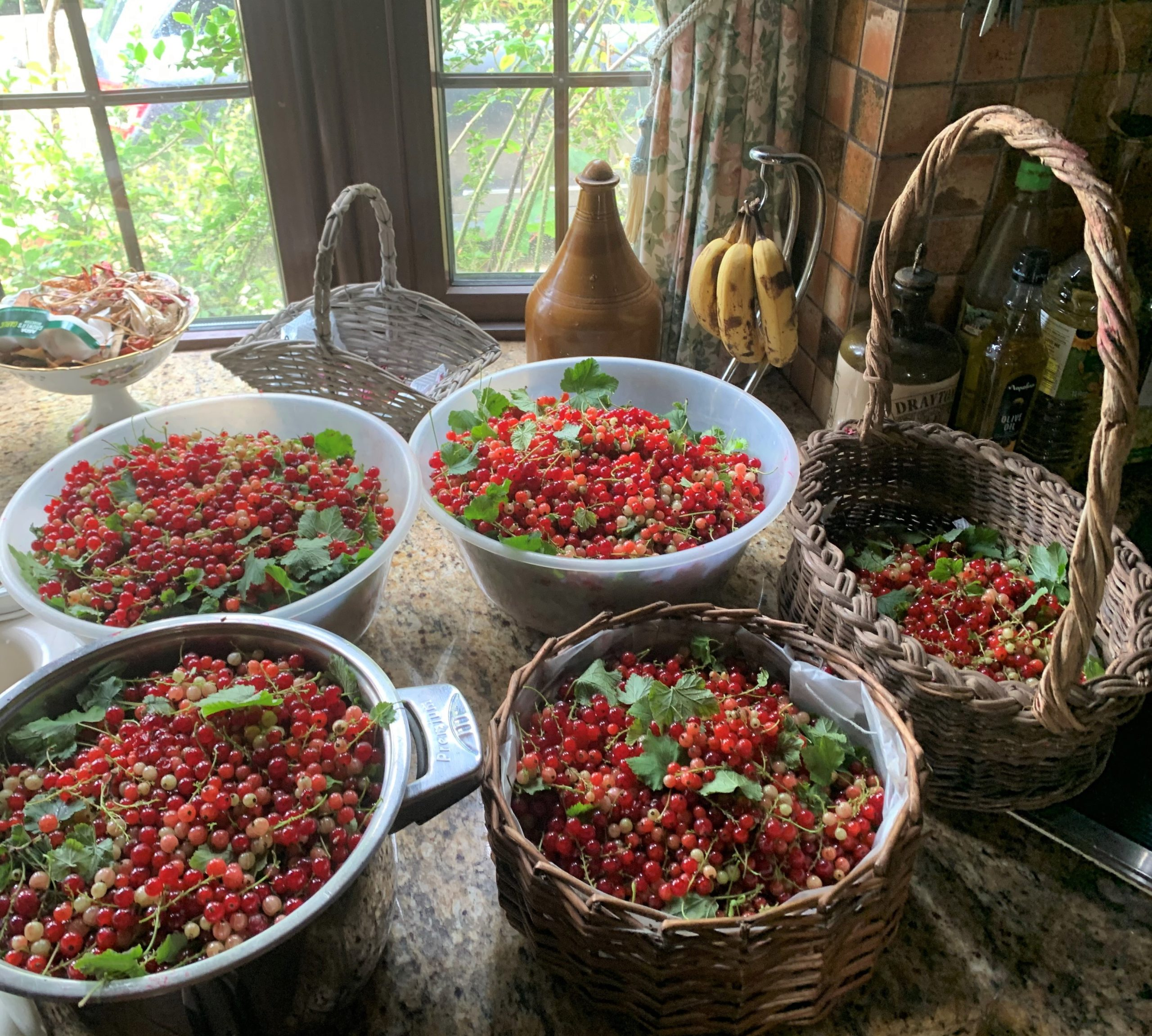 Red currant crop in our country kitchen
