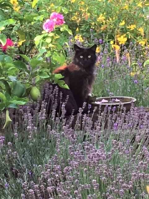 Early August -  Lost in Lavender and Lemons! A neighbouring cat visits us regularly and keeps watch while we garden.