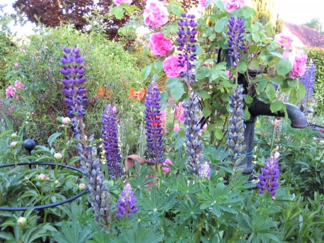 Early June, and our water pump is overwhelmed with Lupins and Roses. Soon to be chased by Poppies and Peonies.