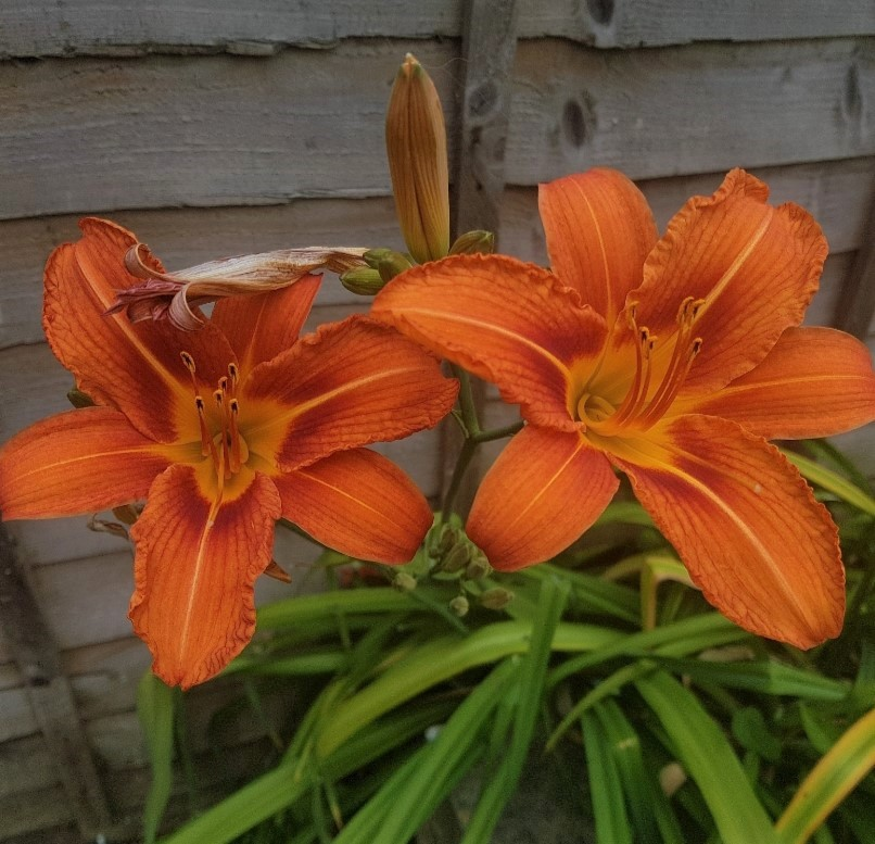 A vibrant Day Lily which comes out each year now.