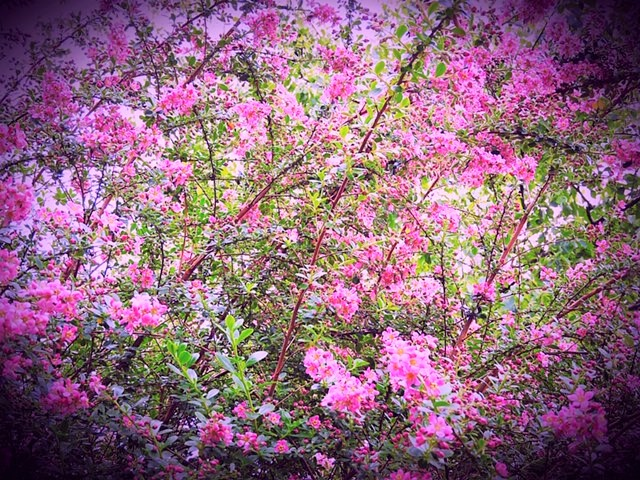 An explosion of pink