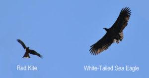 sea eagle and red kite