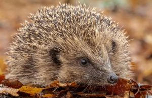hedgehog and leaves